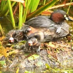 カイツブリ2021 7/30 この時点で雛は3羽 残りの卵は2個 確定