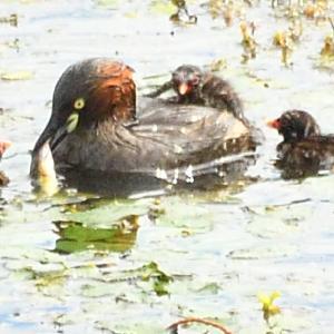 カイツブリ2021 8/1-② 水上練習と教育 親鳥の入れ替わりか?