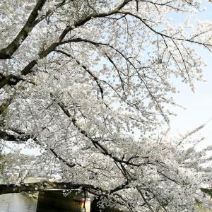 平成最後の桜を眺めて