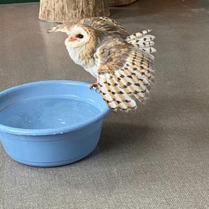 フクロウの水浴び事情
