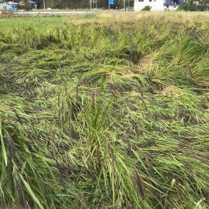 台風の影響の古代米緑米とアボカドちゃん