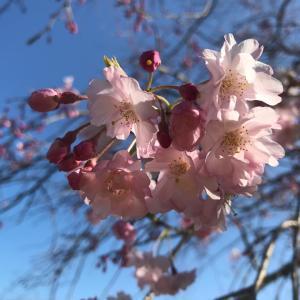 しだれ桜とレトロな喫茶店とナポリタン