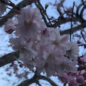 春なのに~桜とハンバーグとパフェとパンケーキと