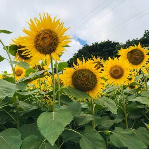 夏の終わりのひまわり畑