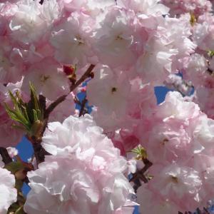 八重桜いろいろ