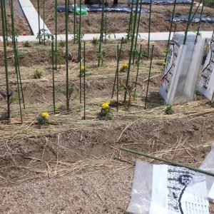 苗の植え付け第二弾