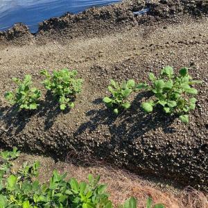 ジャガイモの発芽とジーマミの収穫