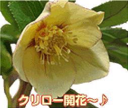 クリロー開花⑥ ♪