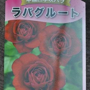 実生ニゲルと赤いバラ