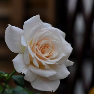 秋のバラ、フレンチレースとアシュラム