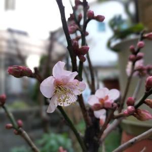 花梅が咲き始めました♪