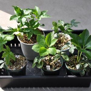 クリロー花柄摘み、発芽苗に本葉