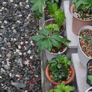 クリロー小苗の植替え、マーガレット、フリージア