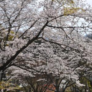とべ動物園の桜