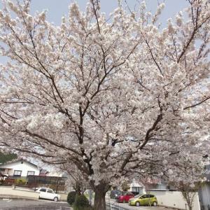 春の散歩 ① 桜、ハナミズキ