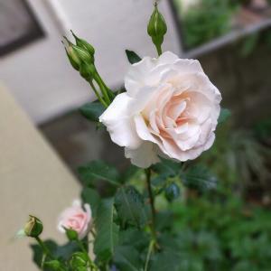 木立性バラ、フレンチレースとラバグルート