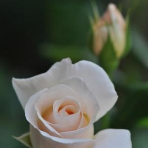 バラの次はアジサイかな…