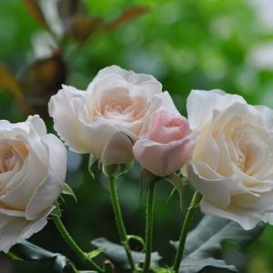 先週から… つるバラ