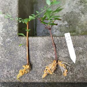 挿し木のポット上げとアップル・ローズ病気?