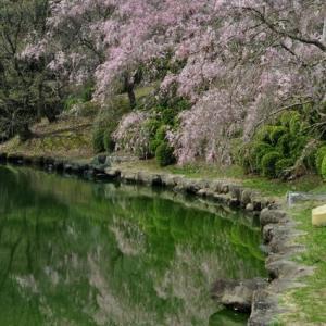 枝垂桜とオウサマペンギン