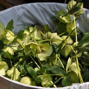 クリロー花柄摘み(地植え)とモミジの種
