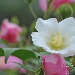 芙蓉の花は移り気・・・。