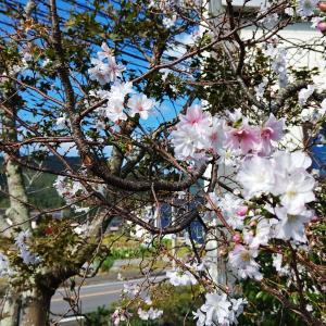 桜咲く!和牛焼肉店「五葉苑」にて