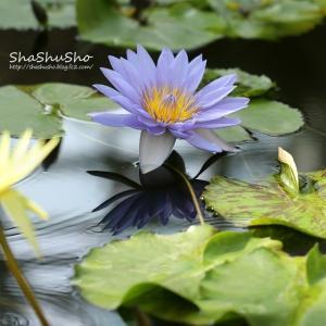 水面に映る花姿 *熱帯睡蓮