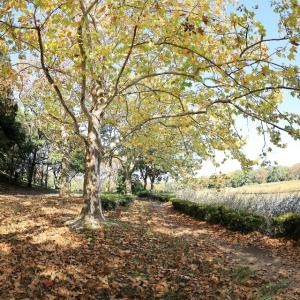 プラタナス並木を歩けば @昭和記念公園