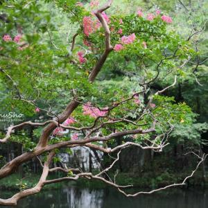 百日紅と深大寺の弁天池