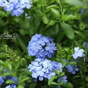 瑠璃色の花 プランバーゴ