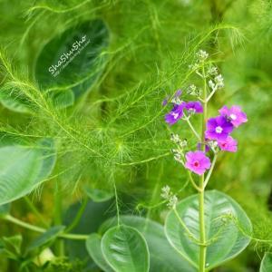緑のベールに包まれて Melastomataceae