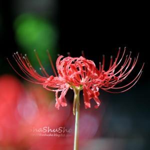 素朴に咲く深紅の花