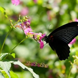 黒いアゲハ蝶に魅せられて
