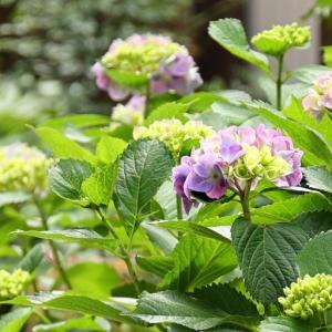 *庭の紫陽花