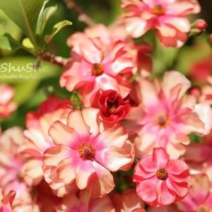 艶々と輝く花びら