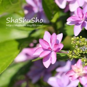ダンスパーティー *陽気な紫陽花*