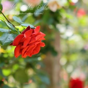 花色が個性的 テラコッタ*薔薇