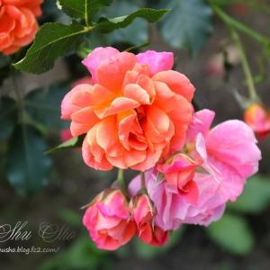 夢と魔法の世界の薔薇