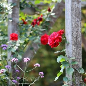 イングリッド・バーグマン *薔薇