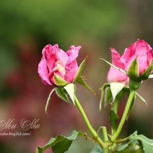 ムーン シャドウ *薔薇