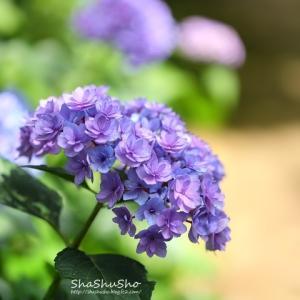 際立って目を引く赤い紫陽花