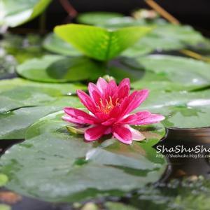 水面を彩る鮮やかな睡蓮