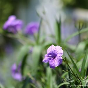 薄紫色の花 柳葉ルイラ草