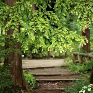 メタセコイアの樹の下で