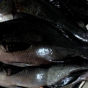 三浦でメジナ釣り