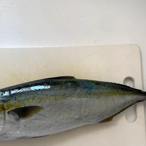 三浦でイナダ釣れました