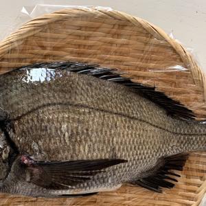 三浦で黒鯛釣れました。猫も。