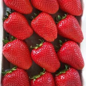【韓国】克日農産物の代名詞に挙げられるイチゴ、新品種が新たに開発された