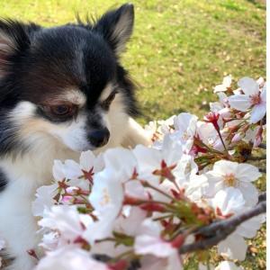 娘と晴れの日ウォーキング通勤月曜日( ´∀`)桜ウォーキング